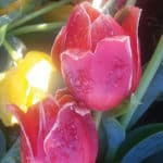 Frozen Tulips underneath the fountain located at the Reo Diner, Woodbridge 4/5/16