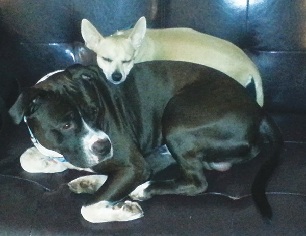 Best Buds -Buster (Chihuahua) and Domino (Pit Bull).  Buster takes a nap on his favorite spot.